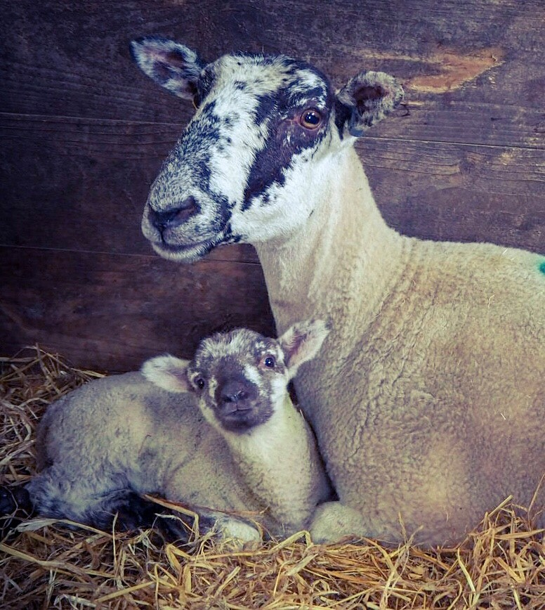 Beef & Sheep 4