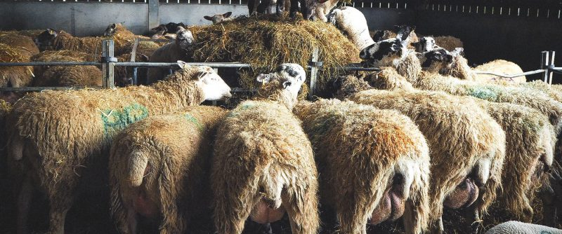 Beef & Sheep 12
