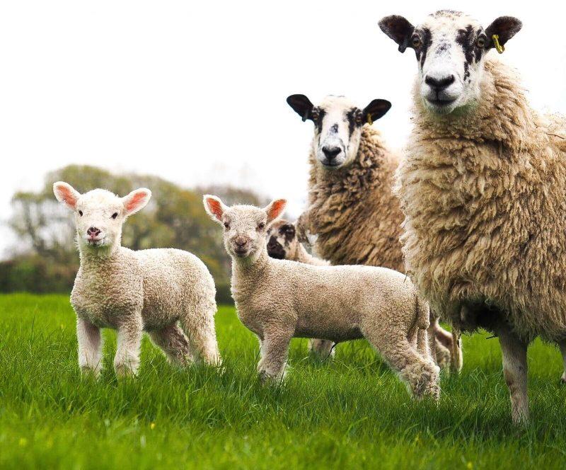 Beef & Sheep
