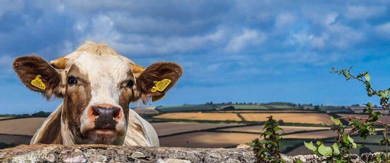 Beef & Sheep 1